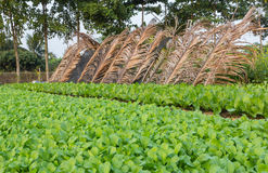 Agricultural plots green lettuce. Converting agricultural turnip greens Before harvest Stock Photos
