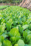 Agricultural plots green lettuce. Before harvest Stock Photo