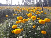 Marigold growing to bring flowers to the market. Agricultural plots for growing marigolds Royalty Free Stock Images