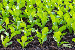 Agricultural plots lettuce. Green Agricultural plots lettuce Natural Stock Photos
