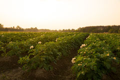 Agricultural - potato fields farm in evening time Stock Photos