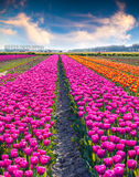 Agricultural processing tulip flowers on the farm near the Rutte Stock Photo