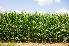 Agricultural produce used to feed swine at a farm in southern ontario. A field of corn growing during the hot summer months at a pig farm in canada Stock Image