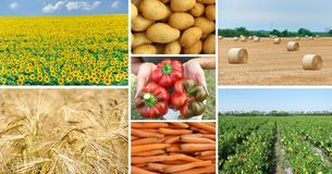 Agricultural production in open fields. Collage of different images of food production in open fields-sunflowers, wheat, potatoes, peppers and carrots royalty free stock photography
