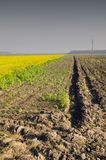 Agricultural rapeseed. Plowed and planted field. Stock Photo