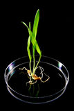 Agricultural Research/Genetic Manipulation. Three young barley seedlings with exposed roots in a petri dish on black background Stock Photography