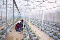 Agricultural researcher with the tablet slowly inspect plants. Young agronomists monitor the harvest. Young farmers are grown and harvested organic melon stock images