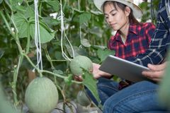 Agricultural researcher with the tablet slowly inspect plants. Young agronomists monitor the harvest. Young farmers are grown and harvested organic melon royalty free stock photos
