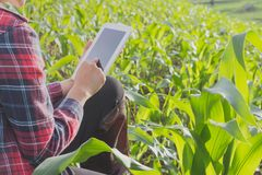 Agricultural researchers are studying the growth of corn plants royalty free stock image