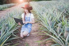 Agricultural researchers are studying the growth of pineapple pl royalty free stock photo