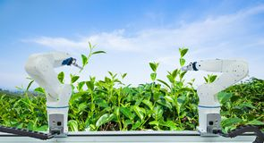 Agricultural robot harvesting green tea leaf in agriculture industry, Technology Smart farm 4.0 concept.  stock image