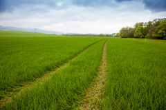 Agricultural rural background. Panoramic view to spring landscape with a field of green winter wheat seedlings Stock Photo