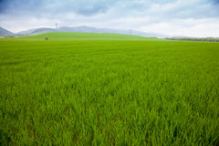 Agricultural rural background. Panoramic view to spring landscape with a field of green winter wheat seedlings Royalty Free Stock Photography