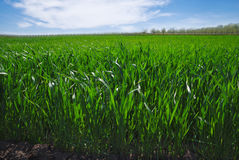 Agricultural rural background. Panoramic view to spring landscape in sunny day with a field of green winter wheat seedlings and bl Royalty Free Stock Photography