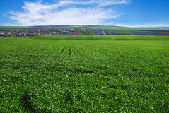 Agricultural rural background. Panoramic view to spring landscape in sunny day with a field of green winter wheat seedlings and bl Royalty Free Stock Photos