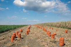 Agricultural scene, bags of onion in field after harvest Royalty Free Stock Photography