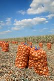 Agricultural scene, bags of onion in field after harvest Stock Photography