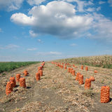 Agricultural scene, bags of onion in field after harvest Stock Photos
