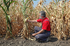Agricultural scene, farmer or agronomist inspect corn field Stock Image