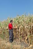 Agricultural scene, farmer or agronomist inspect corn field Royalty Free Stock Images