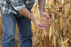 Agricultural scene, farmer or agronomist inspect damaged corn fi. Agricultural scene, farmer or agronomist inspect damaged corn crop and plant in field Royalty Free Stock Photos