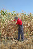 Agricultural scene, farmer or agronomist inspect damaged corn fi Royalty Free Stock Photography