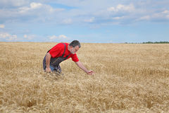 Agricultural scene, farmer or agronomist inspect wheat field Stock Photos