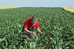 Agricultural scene, farmer in corn field Royalty Free Stock Image