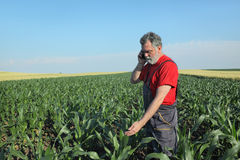 Agricultural scene, farmer in corn field Stock Image