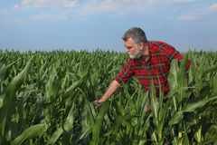 Agricultural scene, farmer in green corn field Stock Images
