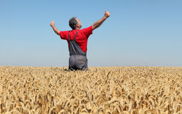 Agricultural scene, farmer in wheat field, harvest time. Agriculture, happy farmer gesturing  in wheat field ready to harvest, with hands and thumbs up Stock Photo