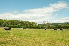 Agricultural landscape in the British countryside. An agricultural scene with a herd of cattle in the county of Herefordshire and Worcestershire, England Royalty Free Stock Photos