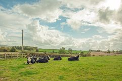 Agricultural landscape in the British countryside. An agricultural scene with a herd of cattle in the county of Herefordshire and Worcestershire, England Stock Photos