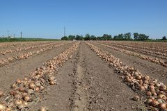 Agricultural scene, onion in field after harvest. Onion harvest, field with heap of onion after harvest with farmers working in background Stock Photography