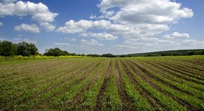 Agricultural sow field and blue sky. Green agricultural sow field and blue sky in country at nice summer day in Russia Royalty Free Stock Images