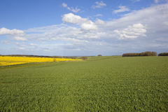 Agricultural springtime scenery with wheat and canola crops. A scenic view of agricultural land in the yorkshire wolds england with wheat and canola crops under Royalty Free Stock Photo