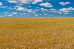 Agricultural summer landscape with ripe wheat field in central Ukraine. Classic agricultural summer landscape with ripe wheat field in central Ukraine Royalty Free Stock Photo