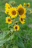 Agricultural sunflower on a natural blurry background. stock photo