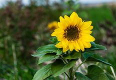 Agricultural sunflower on a natural blurry background. royalty free stock photography