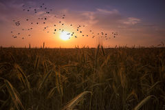 Agricultural sunset with birds flying Royalty Free Stock Photos