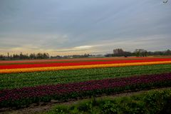 Tulip field. Agricultural of tulip bed during spring time at Netherland Royalty Free Stock Photography