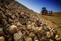 Agricultural vehicle harvesting sugar beet. On cultivated field Stock Photography