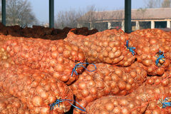 Agricultural Warehouse - Red Onion Mesh Bags. The storage of onions crop in bags at a warehouse. Selectiv focus Stock Images