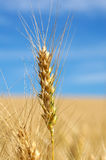 Agricultural Wheat. Single stalk of wheat with blue  sky Stock Image
