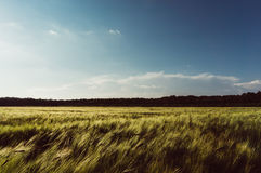 Agricultural wheat field Stock Image
