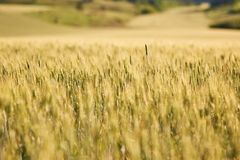 Agricultural wheat field, yellow and ready for harvest. Selective focus. Royalty Free Stock Photos