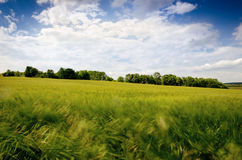 Agricultural wheat fields. Summer time in a nature. Sun light. Green fields and windy weather. Rural scene Stock Images