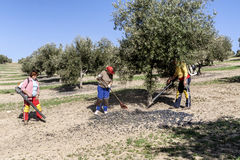 Agricultural women during the olive compilation campaign Royalty Free Stock Images