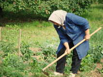 Agricultural work. A grandma with scarf working in her garden Royalty Free Stock Images