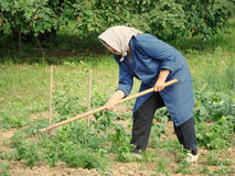 Agricultural work. A grandma with scarf working in her garden Royalty Free Stock Photos